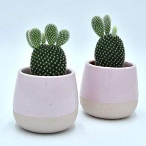 Flower Land Opuncja Kaktus